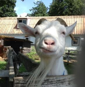 にこにこ山羊さん