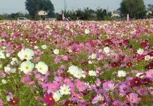 満開のコスモスの花。