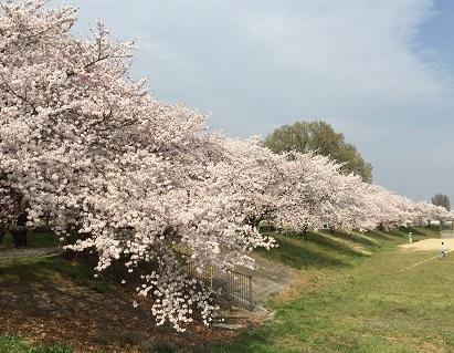 本庄総合公園の桜です