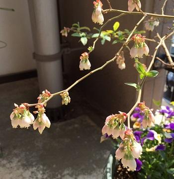 ブルーベリーの花。今年は豊作の予感…。