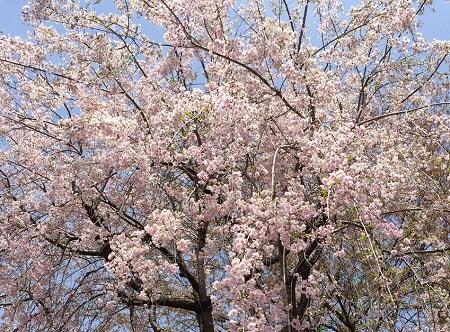 三ツ寺公園の枝垂桜
