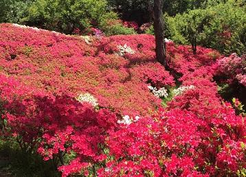 群馬フラワーハイランド:つつじや大手毬の花がきれいに咲いています。