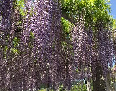 藤まつり(藤岡市):1m近い藤の花が満開。パントマイムなどの大道芸も行われました。