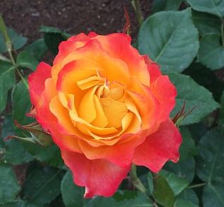 まえばしのバラ「あかぎの輝き」