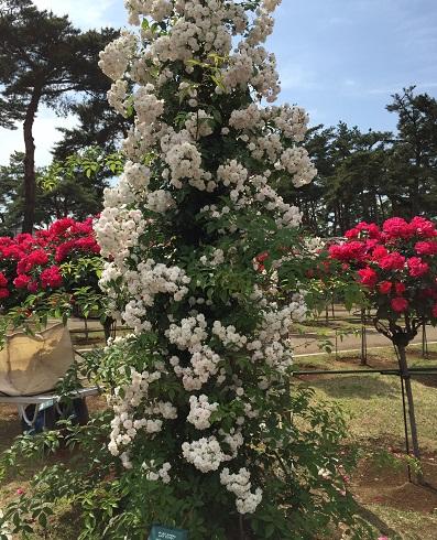 オベリスクで豪華に咲かせてみたい!