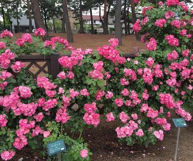 丸い花の形がかわいい「アンジェラ」