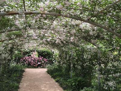白いバラのアーチ。